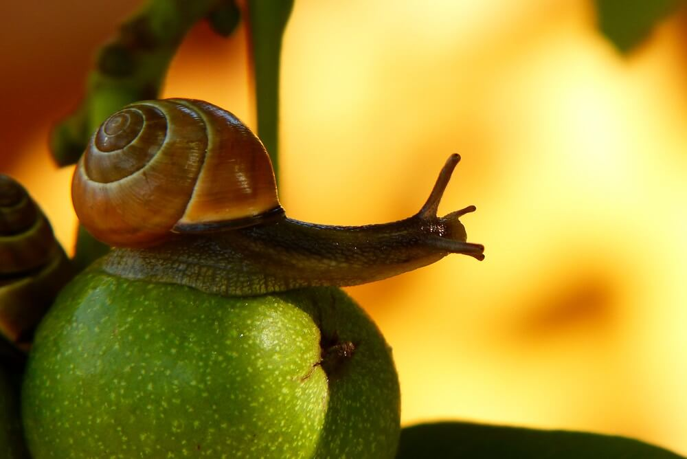 Snegl på æble